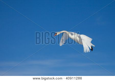 White Swan Flying In The Blue Sunny Sky