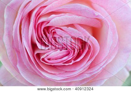 Heart-shaped Pink Rose Close-up / Macro