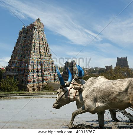 Buffaloes In The Rice Fields On The Background Of Meenakshi Hindu Temple In Madurai, Tamil Nadu, Sou