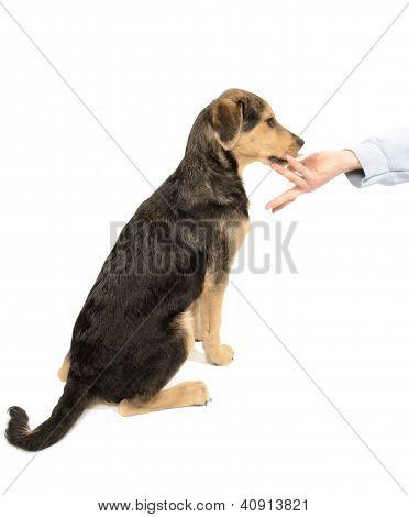 Labrador Dachshund Puppy