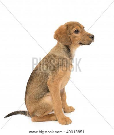 Labrador Shepherd Puppy