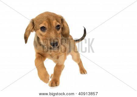 Labrador Running Puppy