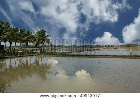 Rice Field. Kerala, South India
