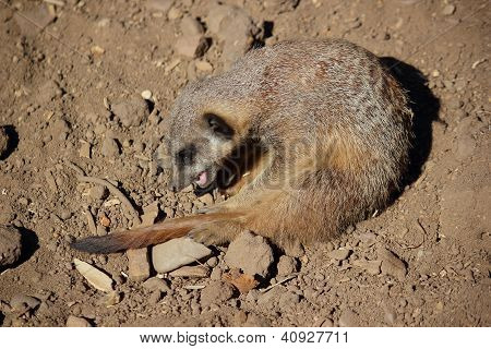 A Meerkat (Suricata suricatta) is playing