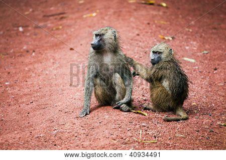 Two Baboon monkeys in African bush. Lake Manyara National Park in Tanzania