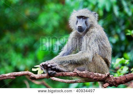 Baboon monkey in African bush. Lake Manyara National Park in Tanzania