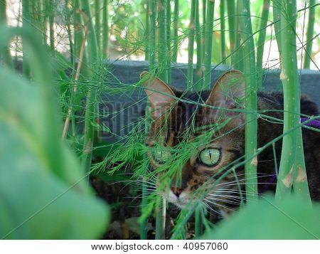 Bengal cat in Asparagus