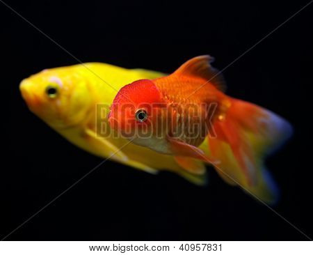 Goldfish (Carassius auratus auratus) swimming underwater on black