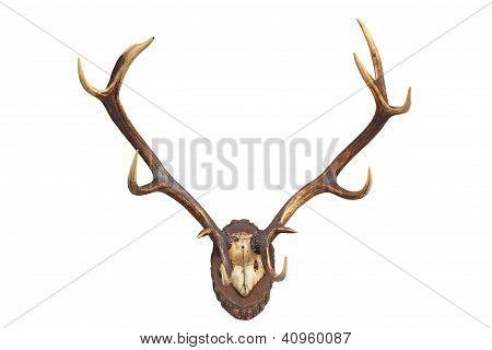 Deer's antler