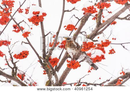 Fieldfare on the tree