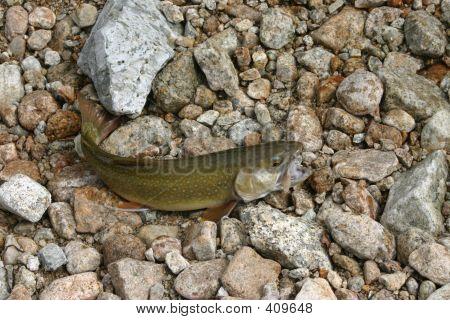 Trout On Rocks