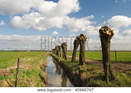 Dutch pollard willows in spring in dutch landscape
