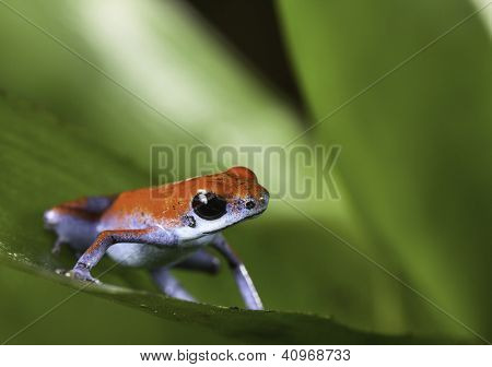 poison arrow frog on leaf in tropical rainforest of Panama Bocas del toro isla Escudo red and blue amphibian with lots of copy space