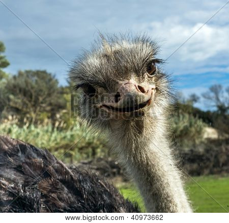 Head Of Ostrich In Zoo