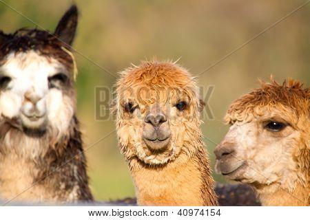Alpaca camelid like Llama