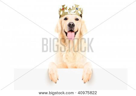 Golden retriever dog wearing crown and standing on a blank panel isolated on white background