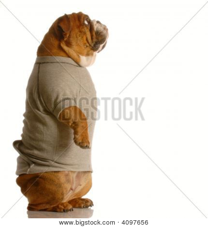 Bulldog Standing Up In Sweatsuit