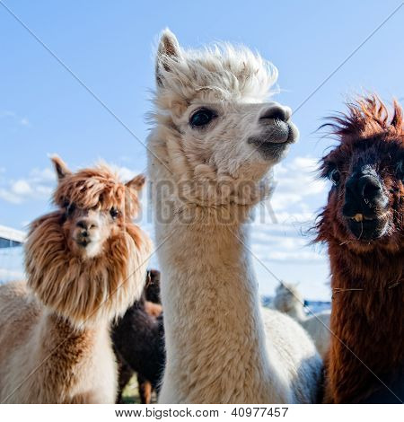 Three Funny Alpacas
