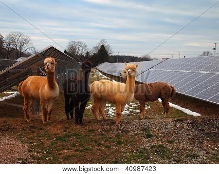 Alpacas At The Solar Farm