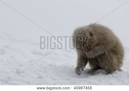 Japanese Snow Monkey Eating In The Snow