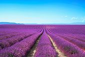 image of perfume  - Lavender flower blooming scented fields in endless rows - JPG