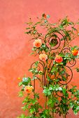stock photo of climbing roses  - Roses climbing against a pink stucco wall - JPG