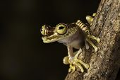 stock photo of nocturnal animal  - tree frog hypsiboas picturata Amazon rain forest treefrog of Colombia and Ecuador jungle - JPG