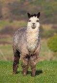 stock photo of alpaca  - An alpaca resembles a small llama in appearance and their wool is used for making knitted and woven items such as blankets, sweaters, hats, gloves and scarves.
