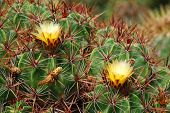 picture of stippling  - yellow cactus blossoms catus plants in the background - JPG