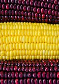 picture of zea  - Background Of Red And Yellow Corn Ear - JPG