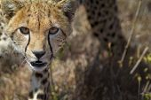 image of dry grass  - Close up detail frontal view of young cheetah walking in long dry grass towards viewer Lewa Downs Kenya East Africa - JPG
