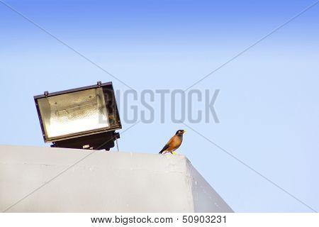 Mynah Bird Perched On Ledge Near Floodlight