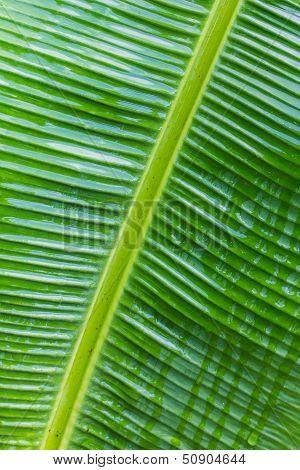 Banana Leaf Close-up