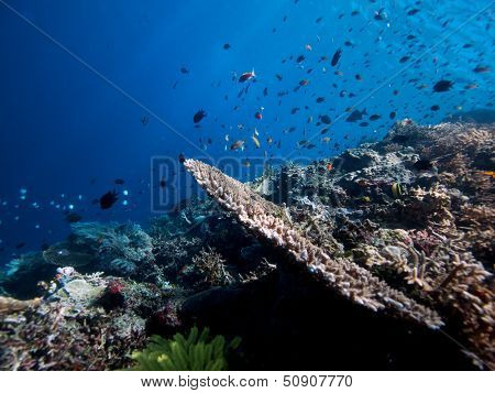 Reef Fish On Bunaken Wall