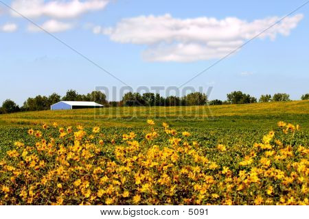 Barn In Soy Bean Field