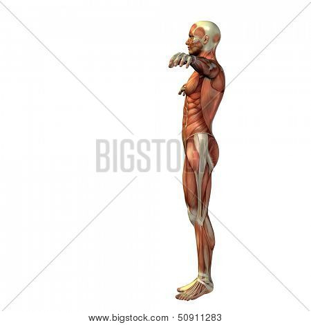 High resolution concept or conceptual human man 3D anatomy body with muscle isolated on white background,metaphor to medicine,sport,male,muscular,medical,biology,anatomical,health,biology or fitness