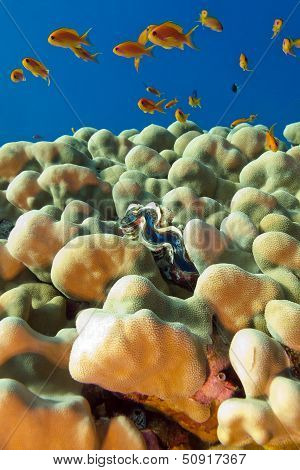 coral reef with porites corals blue clam and exotic fishes anthias