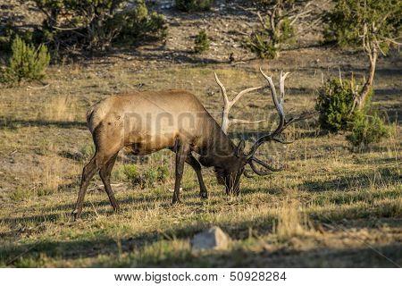 Bull Elk feeding