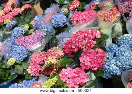 Hortensie flower