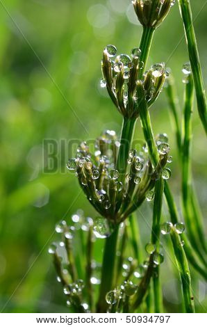 Dew And Horsetail