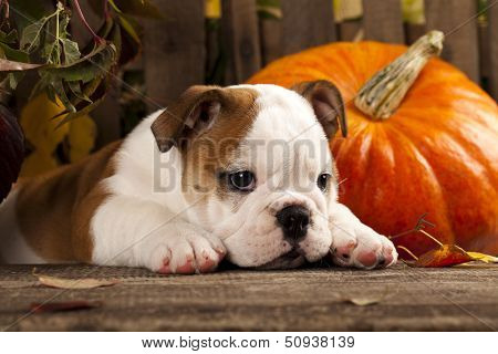 English bulldog and a pumpkin
