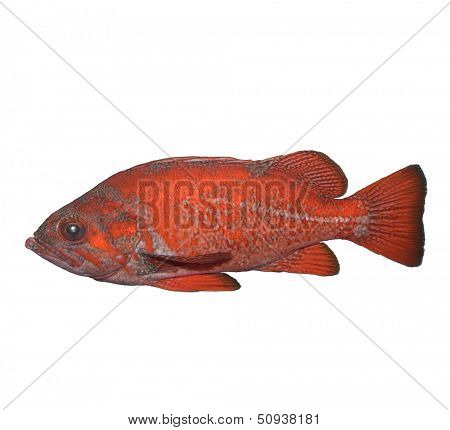 Vermilion Rockfish Isolated On White