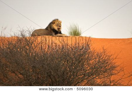 Lion King On Top Of A Kalahari Dune