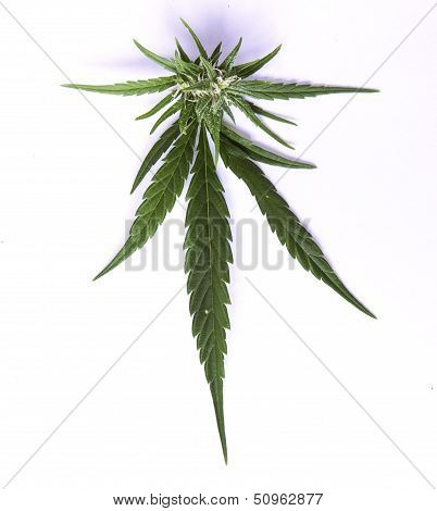 Isolated Marijuana Leaf With Bud.