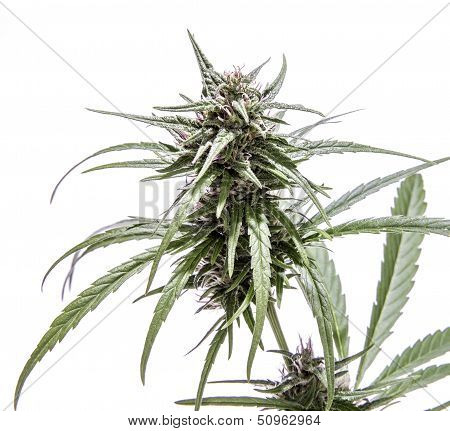 Isolated Marijuana Plant