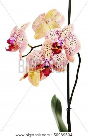 Tiger Orchid Isolated On White Background