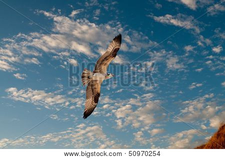 Osprey in flight against a nice blue cloudy sky