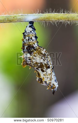Leopard Lacewing Pupa
