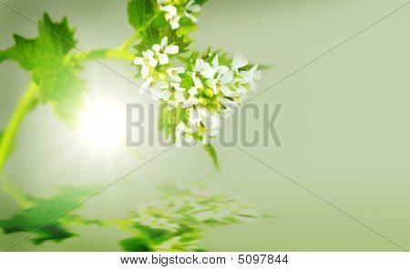 Garlic Mustard Plant
