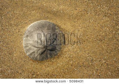Grey Sand Dollar On Pismo Beach